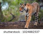 portrait of wild bengal tiger ... | Shutterstock . vector #1024882537
