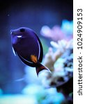 Small photo of Acanthurus achilles, commonly known as Achilles tang or Achilles surgeonfish, is a tropical marine fish native to the Pacific Ocean.