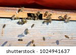 a honey bee is any member of... | Shutterstock . vector #1024941637