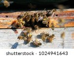 a honey bee is any member of... | Shutterstock . vector #1024941643