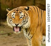 the malayan tiger  panthera... | Shutterstock . vector #1024950757