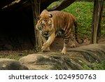 the malayan tiger  panthera... | Shutterstock . vector #1024950763