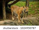 the malayan tiger  panthera... | Shutterstock . vector #1024950787