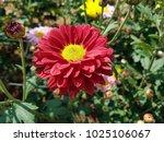 red chrysanthemum yellow... | Shutterstock . vector #1025106067