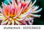 dahlia flower  i took this... | Shutterstock . vector #1025136613