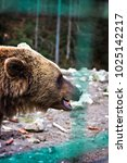 Small photo of Brown bear in the reserve. Brown bear in a zoo. brown bear sitting on a rock in the forest