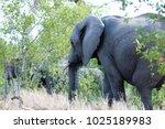 herd of african elephants... | Shutterstock . vector #1025189983