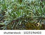 yew plum pine  podocarpus...   Shutterstock . vector #1025196403