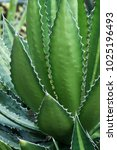 Small photo of Splendida hardy century plant (Agave lophantha splendida)