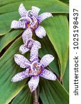 toad lily  tricyrtis hirta .... | Shutterstock . vector #1025198437