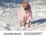 cute american hairless terrier... | Shutterstock . vector #1025260957