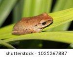 Small photo of brow hyla treefrog