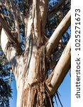 Small photo of Close up of Bark peeled Eucalyptus tree