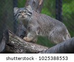 Small photo of Pallas's cat (Otocolobus manul), also known as the manul