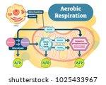 aerobic respiration bio... | Shutterstock .eps vector #1025433967