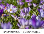 Spring Blooming Crocus Imperat...
