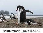 gentoo penguin going away from...   Shutterstock . vector #1025466373