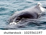 humpback whale  megaptera... | Shutterstock . vector #1025561197