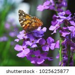 Small photo of The painted lady butterfly (Vanessa cardui) on Purple flowers of Hesperis