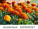 mexican marigolds  tagetes... | Shutterstock . vector #1025635267