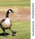 The Goose Dance