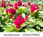 red  beautiful  flower  flora ... | Shutterstock . vector #1025674903