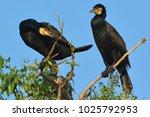 great cormorant  phalacrocorax... | Shutterstock . vector #1025792953