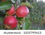 apple. grade jonathan. apples... | Shutterstock . vector #1025795413