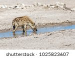 hyena quenches his thirst in a... | Shutterstock . vector #1025823607