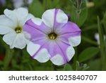 petunia. stimoryne. petunia... | Shutterstock . vector #1025840707