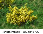 cytisus scoparius also known as ...   Shutterstock . vector #1025841727