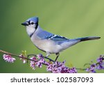 Blue Jay On Eastern Redbud ...