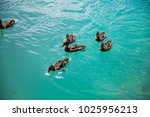 ducks swimming in a blue lake... | Shutterstock . vector #1025956213