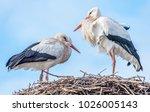 the white stork  ciconia...   Shutterstock . vector #1026005143