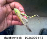 Small photo of Locusts on the man's hand. orthopteran insect