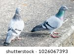 Two pigeons stood together facing right