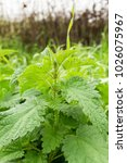 Green Leaves Of Wild Nettle