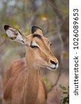 Small photo of closeup head female Common impala, Aepyceros melampus, standing between the bushes