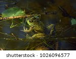 this green pond frog lazes in... | Shutterstock . vector #1026096577
