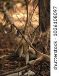 Small photo of cute young gambian monkey between branches sitting on dried leaves