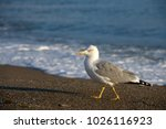 Seagull Is Walking On Sand...