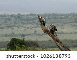 Small photo of The white-backed vulture (Gyps africanus), African white-backed vulture