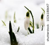 Small photo of A snowdrop (Galanthus) flower in a snowy garden in early spring