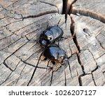 a rhinoceros beetle on a cut of ... | Shutterstock . vector #1026207127