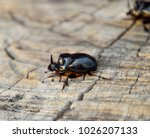 a rhinoceros beetle on a cut of ... | Shutterstock . vector #1026207133