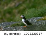 lonely puffin staying and... | Shutterstock . vector #1026230317