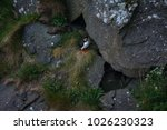 atlantic puffin bird staying... | Shutterstock . vector #1026230323