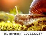 helix pomatia also roman snail  ... | Shutterstock . vector #1026233257