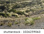 young guanaco runing in the... | Shutterstock . vector #1026259063