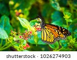 monarch butterfly collecting... | Shutterstock . vector #1026274903